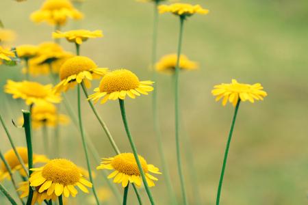 Sunny yellow flowers of dyers camomile (Anthemis tinctoria)