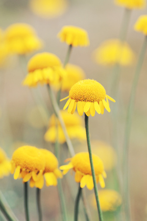 Sunny yellow flowers of dyers camomile (Anthemis tinctoria)