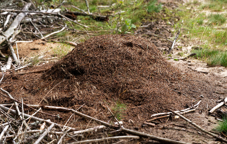 An anthill in the forest where a colony of ants live