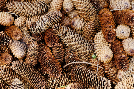 Natural pine forest ground with cones and twigs. Forest soil texture background
