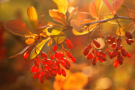 Barberry (Berberis thunbergii) bush in the rays of the setting sun
