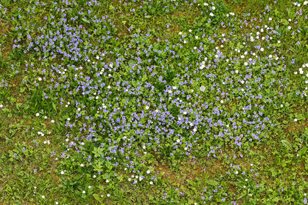 Forget-me-not flowers blooming in the green grass. Blooming little blue meadow flower Stockfoto