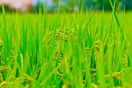 good weather: rice fields