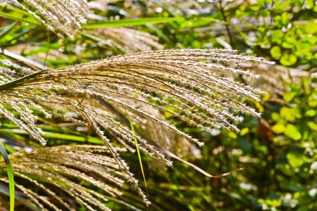 pampas grasses Stock Photo