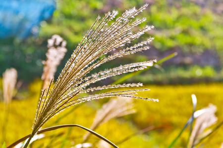 pampas: pampas grasses Stock Photo