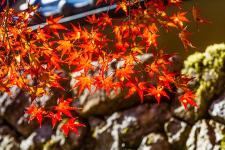acer palmatum: Maple