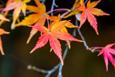 aceraceae: Maple