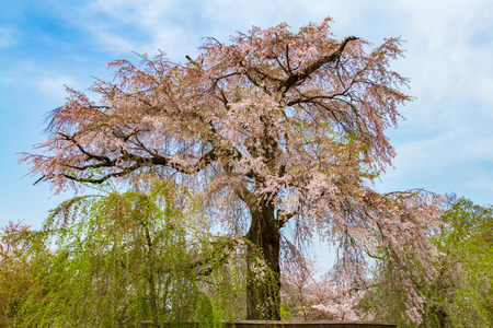 Kyoto Maruyama Park weeping cherry tree