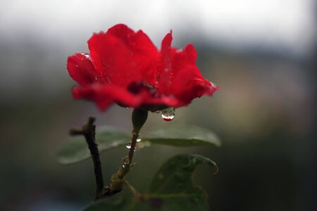 Raindrops hanging from a rose on a rainy day Фото со стока - 94763784