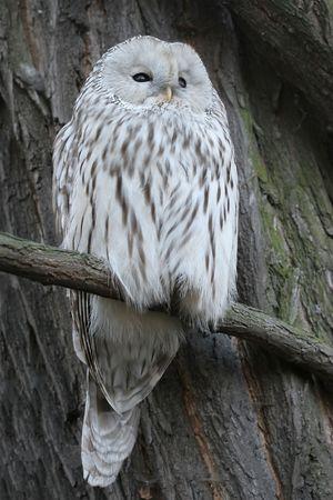 A polar owl on the tree photo
