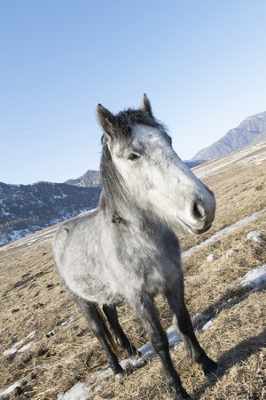jack ass: A beautiful and funny gray horse in the field of a mountainous area. Altai region. Stock Photo