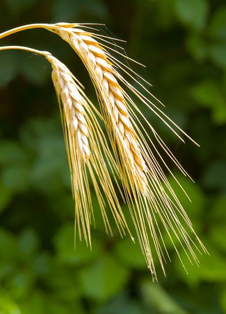 Sunny Wheat (Ripe Wheat On A Field Closeup)