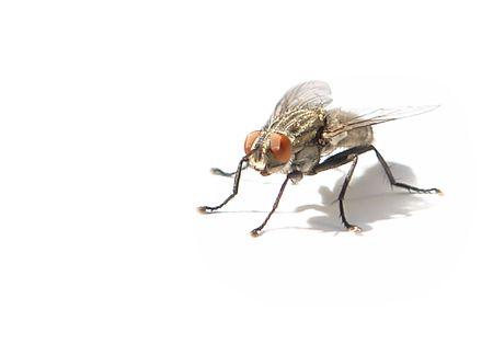 moscerino: Diptera (casa Fly), su sfondo bianco  Archivio Fotografico