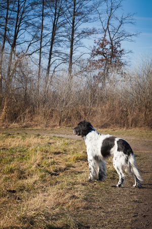 setter: English Setter in the woods in autumn sun Stock Photo