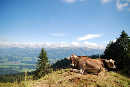 alp: Happy cows on top of a mountain in the Bavarian Alps