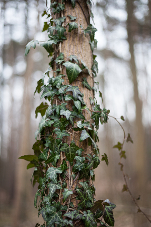 twining: Ivy (Hedera helix) climbing up the trunk of a tree in the forest