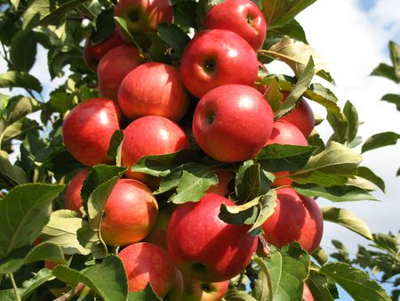 Red apples on a apple tree Banque d'images