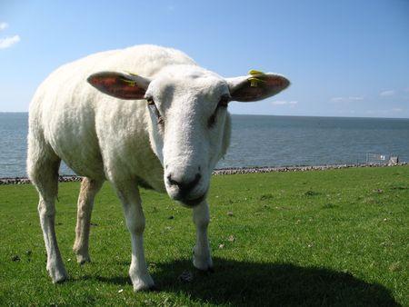 looking into camera: Pecore su un prato a guardare in macchina fotografica