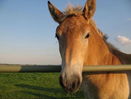 paddock: Foal on a paddock