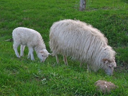 paschal lamb: Mother ewe and lamb