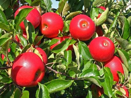 Appels op een boom in een boomgaard Stockfoto