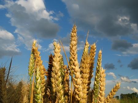 yeloow: Wheat