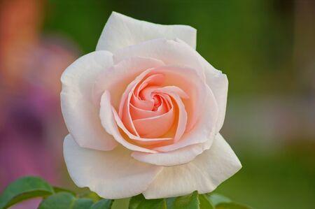 orange rose: Rose