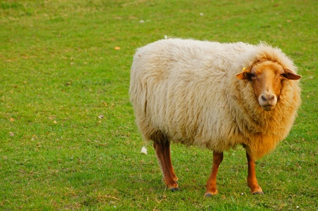 Sheep with a brown head