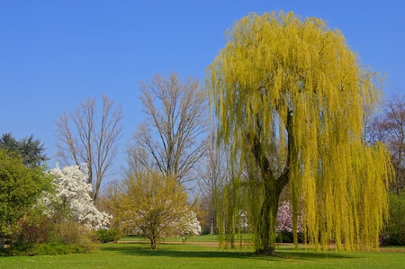 salix alba: Weeping willow in spring