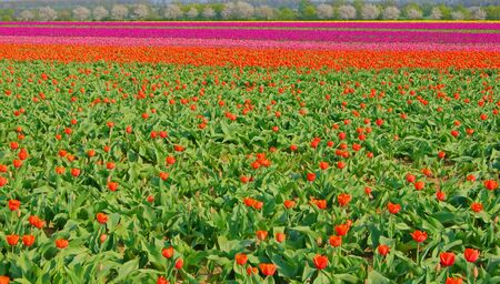Tulips on a field                       Stock Photo