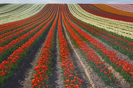 furrow:  Tulips on a field               Stock Photo