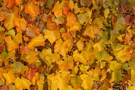 gelb: Autumn vine leaves              Stock Photo