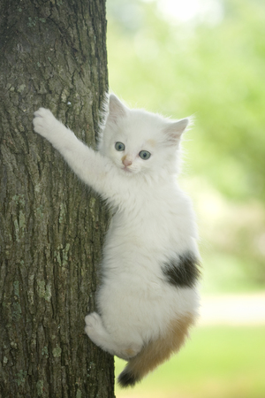 White kitten with bright blue eyes trying to climb a tree photo