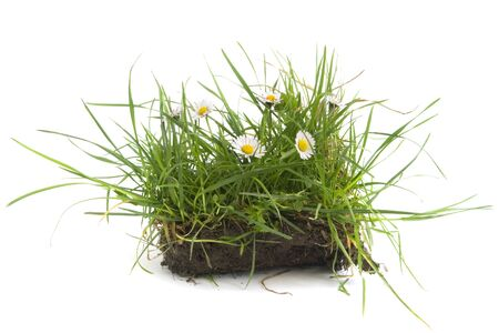 close up of grass turf with camomile flowers  on white background Stock Photo - 4076207