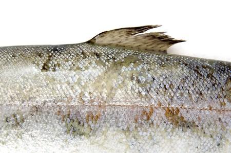 salmonidae: closeup of fish on white background