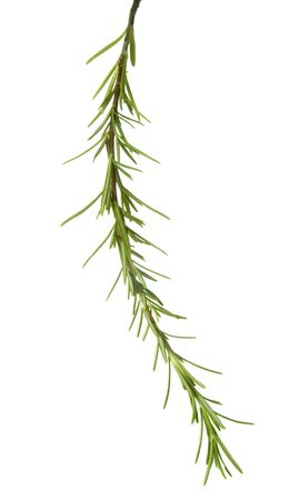 close up of rosemary sprig on white background  Stock Photo - 4417792