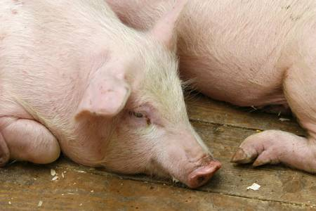 grunter: pigs are shown in a marketplace