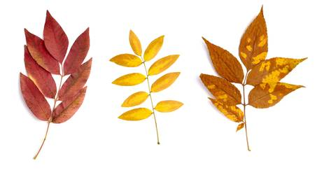 collection of yellow leaves on white background photo