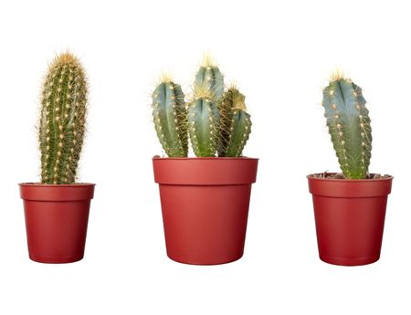 close up of small cactus houseplant  in pot on white background photo