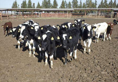 animal cow farm Stock Photo - 6590952