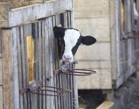 animal cow farm Stock Photo - 6662777