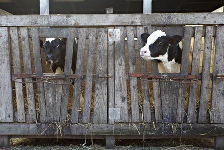 animal cow farm  Stock Photo - 6662558