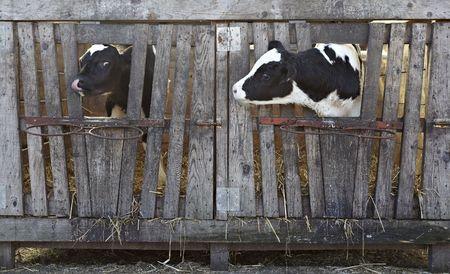 animal cow farm Stock Photo - 6694167