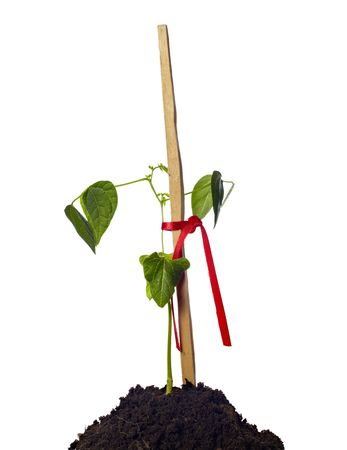 close up of young plant in ground supported by a wooden stick Stock Photo