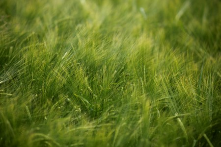 close up of a wheat fieald agriculture Stock Photo - 7350006