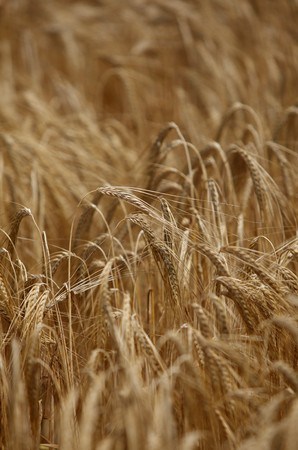 close up of a wheat fieald agriculture Stock Photo - 7431721