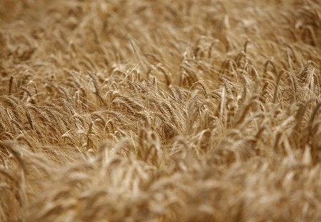 close up of a wheat fieald agriculture Stock Photo - 7431723
