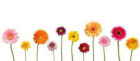 red gerber daisy: collection of  daisy flower on white background. each one is shot separately Stock Photo