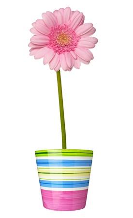 close up of  daisy flower on white background photo