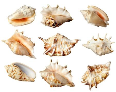 Kolekcja różnych muszelek na białym tle. Każdy z nich jest nagrywany oddzielnie